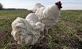The City Girl Farm a jejich podnožky s tvarem slepic
