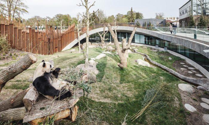 Kodaňská zoo otevřela pavilon pro pandy odBIG vetvaru jin ajang
